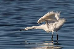Little Egret (Gary McHale) Tags: little egret rspb leighton moss