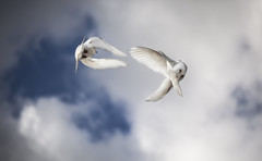 Double helping of peace (Andrew Bielecki) Tags: sky cloud white dove blue bird fly