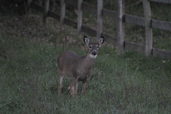 _MG_1926 (thinktank8326) Tags: deer whitetaileddeer fawn doe babyanimal babydeer