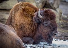 -Wishful Dreams of Hibernation (westrock-bob) Tags: buffalo calgary contemplation ab cuthill canon bison animal 6d copyright bobcuthill alberta canoneos6d canada woodbuffalo calgaryzoo canon6d bobcuthillphotographygmailcom explore