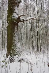 ckuchem-1643 (christine_kuchem) Tags: baumrinde buche bume eiche eis frost hainbuche natur pfad pflanzen ruhe samen spuren stille struktur wald weg wildpflanzen winter einsam kalt schnee ste