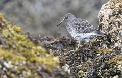 Waldo Found (see adjacent picture) (Rick Derevan) Tags: alaska kodiak shorebird sandpiper rocksandpiper calidrisptilocnemis kodiak2016 kodiaktrip2016 places