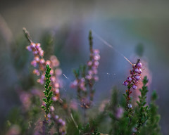 colorfull minimalism [explored] (Mange J) Tags: fs161009 magnusjakobsson pentax sverige sweden vrmland bokeh colorfull fargstarkminimalism flower fotosondag fotosndag green heather ljung macro makro pink vrmlandsln se explored