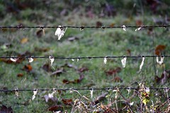 Snagged (Nige H (Thanks for 6.5m views)) Tags: hff happyfencefriday fence fencefriday snagged barbed barbedwire wool