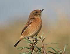 Stonechat (Peanut1371) Tags: stonechat bird chat nationalgeographicwildlife