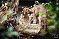 Momenti Intimi (Luca_Mapelli) Tags: photo by luca mapelli foto photography momenti intimi intimate moments puma amore love famiglia family bacio kiss parco delle cornelle animale animals natura nature gatto cat albero tree grande felino big feline