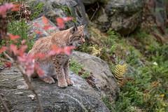 Lynx01-7613 (Esther van Rooijen) Tags: bayerischerwald animals wildlife