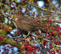 thrush on red berrys (1) (Simon Dell Photography) Tags: thrush mistle bird nature detaile macro close up sunlight red berrys festive image photo castleton derbyshire peak district uk britain country side valley hope national park high 2016 simon dell photography sheffield england views old new pics pictures winter autumn