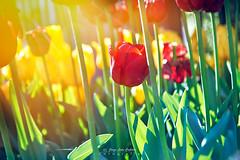 Acorralado - Entrelagos (Norpatagonia - Chile) (Noelegroj (7 Million views+.Thank you all) Tags: chile norpatagonia entrelagos tulipanes tulips flowers flores spring season primavera colorful colorido sunlight luzsol