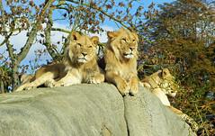 Kibo et Atlas (Raymonde Contensous) Tags: lions fauves félins animaux pzp parczoologiquedeparis zoodevincennes