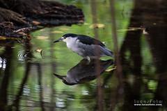 Black-crowned Night Heron (lucasfotodotcom) Tags: blackcrownednightheron nikon nikond610 florida