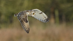 Short-eared Owl (image 2 of 4) (Full Moon Images) Tags: rspb fen drayton lakes wildlife nature reserve cambridgeshire bird prey birdofprey flight flying shorteared owl short eared seo