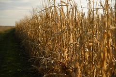 Autumn Corn stalks (JasonCameron) Tags: autumn utah corn stalks sunset light field farm lane isle column