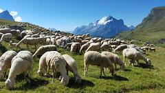 Pecore al pascolo a Mondeval (Luciano Dessolis) Tags: pecora capra prato pascolo montagna animali