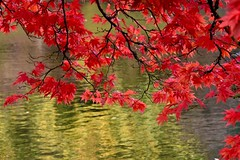 Autumn contrast (Nige H (Thanks for 6.5m views)) Tags: nature leaves autumn tree contrast red green water reflection