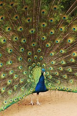 Peacock (viii) (sarah-sari19) Tags: june summer peacock beautiful brilliant vivid grass avian winged tail fan blue green brown vibrant proud fanned display