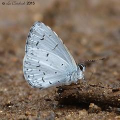 White-disc hedge blue (LPJC) Tags: munnar kerala india 2015 lpjc butterfly whitedischedgeblue celastrinaalbidisca