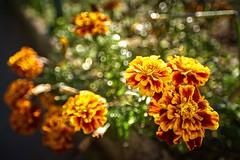 bouquet de bokeh (rondoudou87) Tags: fleur flower flowers bokeh dof jardin garden nature natur pentax k1 zeissdistagont21mm28 carlzeiss zeiss zkmount colors couleurs