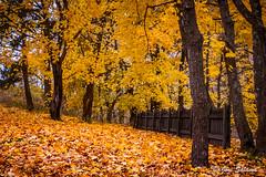 Oranssit lehdet (Joni Salama) Tags: maa luonto kasvit oranssi syksy lehti helsingfors uusimaa finland fi helsinki suomi orange leaf leaves