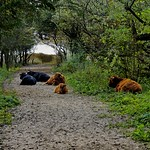 Schotse hooglanders in het Westduinpark thumbnail
