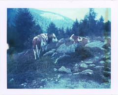 On Goldeck 25 (sycamoretrees) Tags: 669 669200811 alpen alpine alps analog automatic100 carinthia cattle cow expired expired2008 film goldeck instantfilm krnten landcamera marianrainerharbach model100 mountains packfilm polaroid trail trees type100