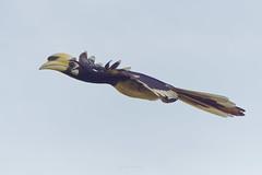 DSC06237_DxO_LR (teckhengwang) Tags: oriental pied hornbill bird nature a77ii a77mkii a77mii a77m2 a77mk2 sony sal70400g 400mm
