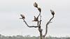 Vultures preparing for the night. (Kenneth Gerlach) Tags: bird geier grib khokamoya landscape manyeleti sleepingtree south southafrica spring sydafrika vulture whitebackedvulture wildlife krugerpark mpumalanga za