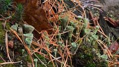 Kopjes-bekermos - Cladonia fimbriata (henkmulder887) Tags: groenbekermos cladoniafimbriata korstmos korstmossen voedselarm dwingelderveld boswachterijdwingeloo staatsbosbeheer alberthenckel bosbouw herfst herbst natuur natur nature natura drenthe holland thenetherlands groen bruin green brown vert
