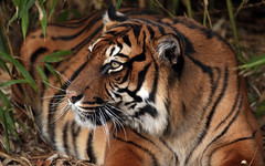 sumatran tiger Alia Blijdorp JN6A4041 (j.a.kok) Tags: tijger tiger sumatraansetijger sumatrantiger pantheratigrissumatrae cat kat predator asia azie sumatra blijdorp blijdorpzoo mammal zoogdier alia