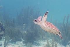 Bonaire seaturtle (Noeky1980 Photography) Tags: photography nature sea water scubadiving scuba diving dive tortuga underwaterphotography bonaire turtle seaturtle