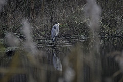 A Heron Through The Reeds (me'nthedogs) Tags: heron westhay somerset levels