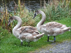 Newport Shropshire canal 111011old photos Liz Callan (24) (LIZ CALLAN) Tags: newport shropshire canal dog bordercollie grass water swans cygnets bridges paths waterlilies lizcallan lizcallanphotograph lizcallanphotography trees outside landscape