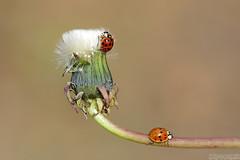 "When the ""Fun"" is Over (Vie Lipowski) Tags: ladybug ladybird ladybeetle dandelion insect beetle bug flower weed fun wildflower wildlife nature macro"