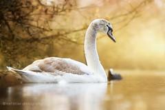 Young swan (buchsammy) Tags: 2016 bitzer buchsammy canonef70200mmf28lusmisii fullframe hfingen mrz park ralf sonnenschein sony sonyalpha7r swanschwan tier vollformat animal bird donaueschingen ralfbitzerphotography ralfbitzergmxde schlospark vogel