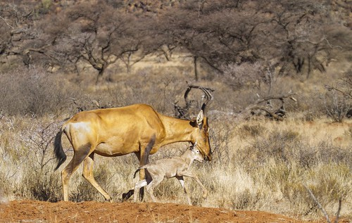 RED hartebeest, with foal, Mokala Nat Pk