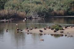 Ducks (gorrarroja) Tags: valencia spain espaa albufera patos ducks
