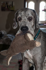 A Tender Moment (Darren Cordingley) Tags: greatdanes dog hund hound chien mansbestfriend canine pet companion trusted gentlegiant nikon d800