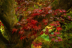 Acer (hippyczich) Tags: acer tree leaves autumn colour winkworth arboretum nationaltrust