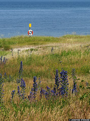 20150704_02 Viper's bugloss (Echium vulgare) & lifebuoy on the beach | Ekstakusten, Gotland, Sweden (ratexla) Tags: ratexlasgotlandtrip2015 gotland 4jul2015 2015 canonpowershotsx50hs ekstakusten sweden sverige scandinavia scandinavian europe beautiful earth tellus photophotospicturepicturesimageimagesfotofotonbildbilder europaeuropean summer travel travelling traveling norden nordiccountries roadtrip journey vacation holiday semester resaresor landscape nature scenery scenic ontheroad sommar ocean sea coast beach lifebuoy bleld grass vipersbugloss echiumvulgare gsgsgs favorite