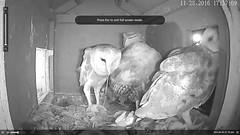 11.28.2016_1737_I Love Da Strings (Birder23) Tags: porching barnowls barnowlets barnowltreenestporch rat didi jasper beau