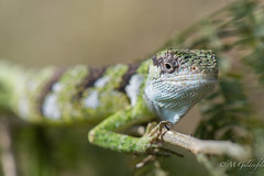 Lizard (Guldenfels-photos) Tags: frog ecuador equateur serpent lezard lizard grenouille verte green yellow nikon d800 macro tropical blue i am
