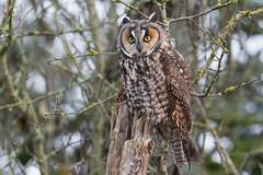 Long-eared owl (Asio otus) (Tony Varela Photography) Tags: asiootus asiosp longearedowl owl photographertonyvarela