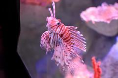 Red Lionfish (Bri_J) Tags: sealifecentre birmingham uk aquarium nikon d7200 redlionfish lionfish fish pteroisvolitans