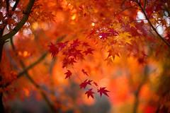 Embers (moaan) Tags: kobe hyogo japan jp autumn fall autumnleaves autumncolors fallcolors maple japanesemaple momiji red blazing bokeh dof utata 2016 leica mp leicamp type240 noctilux 50mm f10 leicanoctilux50mmf10