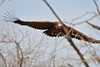 Endangered Lappet-faced Vulture showing its massive wingspan (cirdantravels (Fons Buts)) Tags: gier geier vulture vautour torgos