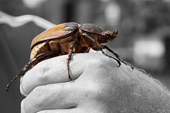 Goliathus-Regio - Scarabeo-Golia (Roberto Valt) Tags: fb 7d pointandshoot naturephotography naturephotos animalpicture wildlifephotography wildlifewildlife animalspicture animalimages animalspictures picturesofanimals photoscanoncanon animalspics imagesanimals