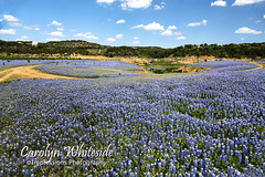 Lake Travis Bluebonnets