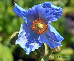 REFORD GARDENS   |      EMBLEM  |   |     BLUE POPPY   |  PAVOT BLEU          |     REFORD GARDENS  |      LES JARDINS DE METIS  |  METIS   |  GASPESIE  |  QUEBEC  |  CANADA (J.P. Gosselin) Tags: blue canada gardens les canon emblem de eos quebec mark bleu ii 7d poppy canoneos jardins metis gaspesie | markii pavot reford eos7d canoneos7d canon7d canoneosrebelt2i 7dmarkii ph:camera=canon canon7dmarkii