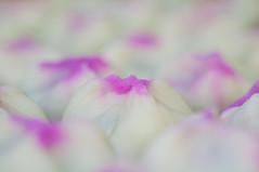 20140503_wagashi (jam343) Tags: white japan purple traditional may sweets 90mm wagashi