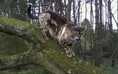 IMAG0995_1-2 (jymhitchcock) Tags: pet cat bengal